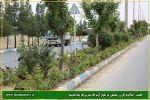 کاشت ۲۵۰۰بوته گل رُز در بلوار شهید مدرس فاز یک اندیشه